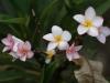 Zoals deze bloemen van een Tempelboom, precies naast onze kamer.