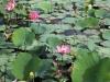 waar de lotussen volop bloeien