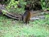Nee, het is een Agouti, een knaagdier dat mij een supergrote cavia lijkt