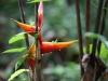 En deze prachtige bloem is een Heliconia, waarvan de nectar voeding voor kolibries is