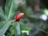 Dit is ook een mooie bloem waarvan we er meer zagen: de plant (Costus scaber) draait als een Wenteltrap, en heet daarom dus zo.