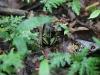 maar dit is wel een echte Gifkikker (Epipedobatus trivittatus), dus enige afstand lijkt raadzaam...