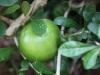 En in Suriname groeien Kalebassen,