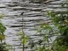 Dit is een IJsvogeltje, direct onder onze hut!