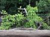 en als ik goed kijk, zie ik ook veel vogeltjes bij de Saramacca-rivier: zie je deze, met dat gele buikje?