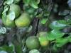 Pompelmoezen zorgen voor de nodige vitaminen