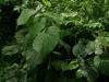 Door te proeven ontdekte Rob de juiste naam: Anijsblad (Piper marginatum), tegen kolieken
