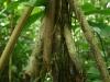 en zo\'n Wandelende Palm (Socratea exorrhiza) \'wandelt\' ook echt: tot een meter per jaar.