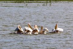 Nog meer vogels? We zien groepen pelikanen voorbij drijven,