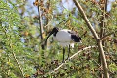 Een Heilige ibis zien we hier op een boomtak, en we zagen er nog meer op op de oever.