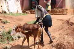 en deze jongeman die zijn koe hoopt te verkopen.