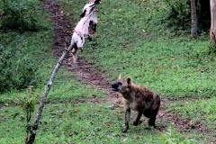 maar die koffie moet nog even wachten, want eerst zien we nog hoe hyena's een in een boom gehangen kadaver ontdekken,