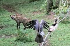 en de hyena heeft al een groot deel van het kadaver losgerukt als zo'n gier zijn kans grijpt.