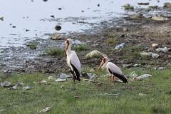 deze Nimmerzats (ooievaars die ook Yellow-billed Storks genoemd worden) kan  fotograferen,