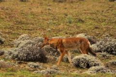 en onder andere deze Ethiopische wolf ontdekken.