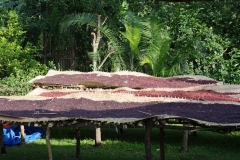 Hier liggen die koffiebonen al te drogen op grote zeilen, tegen de aapjes beschermd door twee herdershonden.