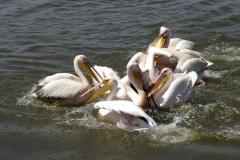 en ook groepen pelikanen zijn om diezelfde reden waar de vis dichtbij is!