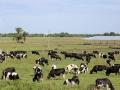 131 kunnen uitkijken over het land met -bijna - Hollandse koeien,