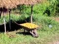 134 en zelfs kruiwagens vol heerlijke mango's!