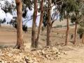 155 en overal omringd door heel veel Eucalyptusbomen.
