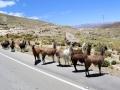 192 eenmaal onderweg komen we de eerste lama's tegen - de bus moet ze naar de kant toe toeteren.