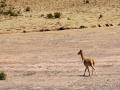 193 Het land wordt steeds droger en dan zien we in deze woestijn ook  de veel slankere Vicuña's!