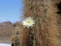 207 Sommige kanjers op dit cactuseiland zijn wel 200 jaar oud en dragen nu grote bloemen