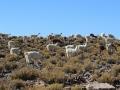 224 want waar nog wat groeit zien we nu overal lama's,