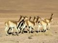 254 en voor onze auto wegvluchtende, slanke vicuña's.