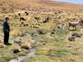 264 en zien dan opnieuw lama's, nu van heel dichtbij