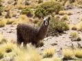 267 terwijl een andere lama mij in de gaten houdt...