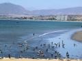 345 Een verrassing is dan gelijk deze grote kolonie pelikanen in Coquimbo!
