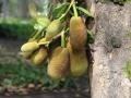 26 Maar daarheen lopend komen we ook door een park waarin overal Durian-vruchten aan grote, oude bomen hangen